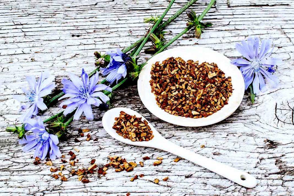 fleurs et racines de chicorée
