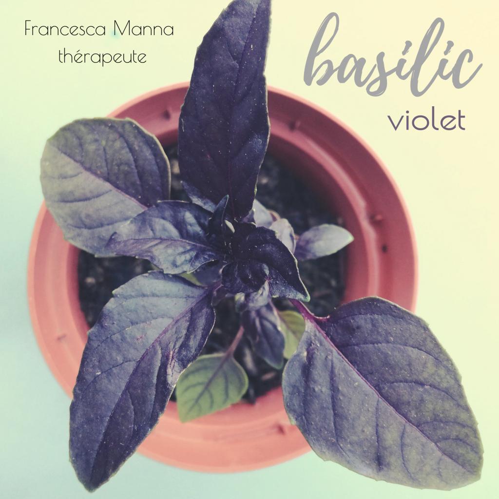 basilic violet